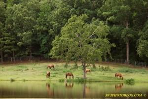 Horses Graze near Lake