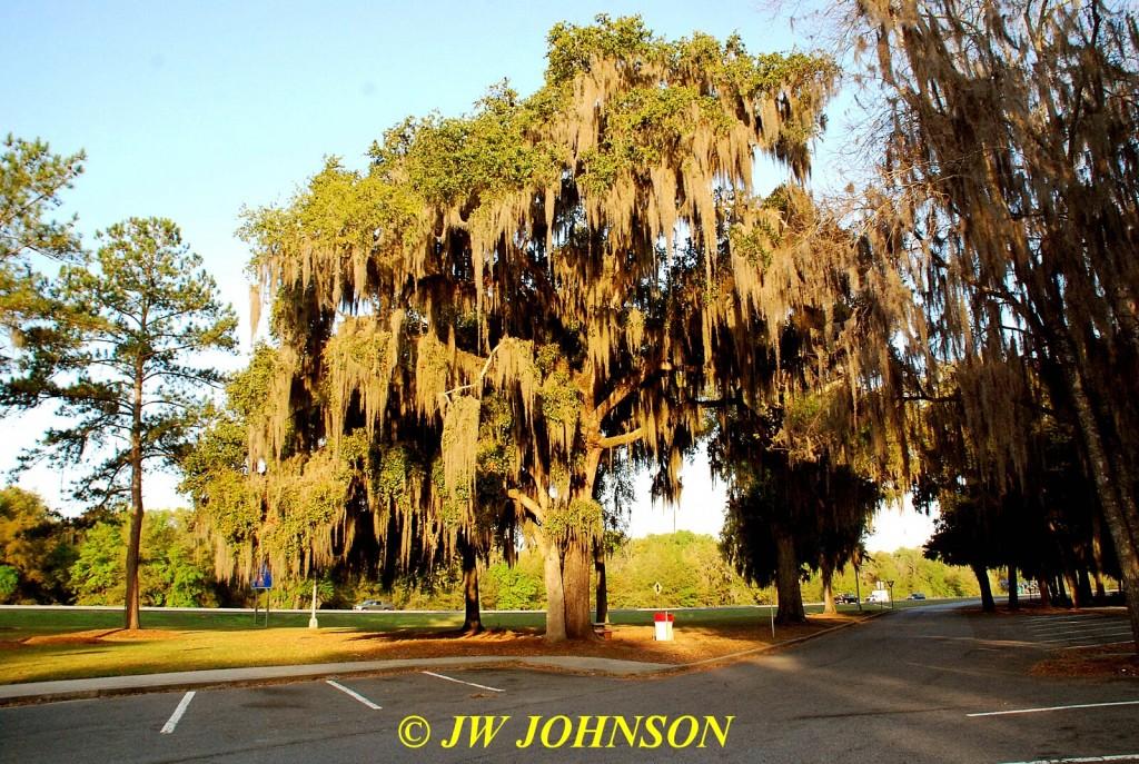 Spanish Moss Laden Tree in Georgia