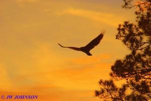 12 Buzzard At Sunset
