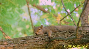 06 Tired Squirrel in Tree by Carport