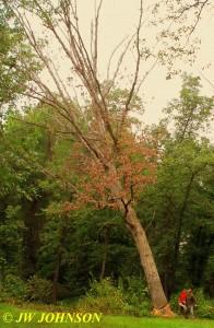 0916 Big Tree Starts Falling