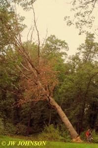 0916 Big Tree Starts Falling 2