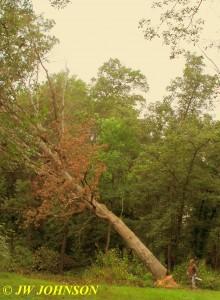 0916 Big Tree Starts Falling 3