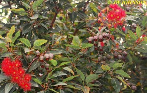Flowering Tree 4
