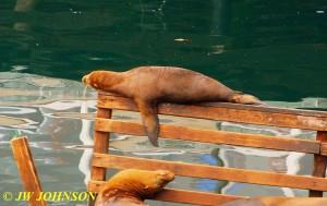 Seals A Sleepin 0920 Fishermans Wharf 2
