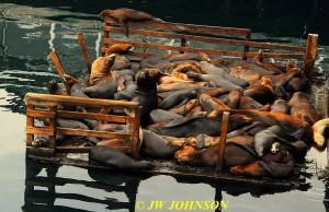 Seals A Sleepin 0920 Fishermans Wharf
