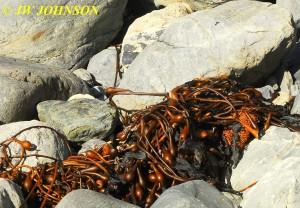 Willow Creek Beach Kelp 0919 12