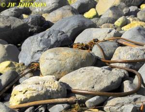 Willow Creek Beach Kelp 0919 13