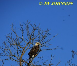 02 Bald Eagle in Tree Near Houston