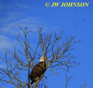 04 Bald Eagle in Tree
