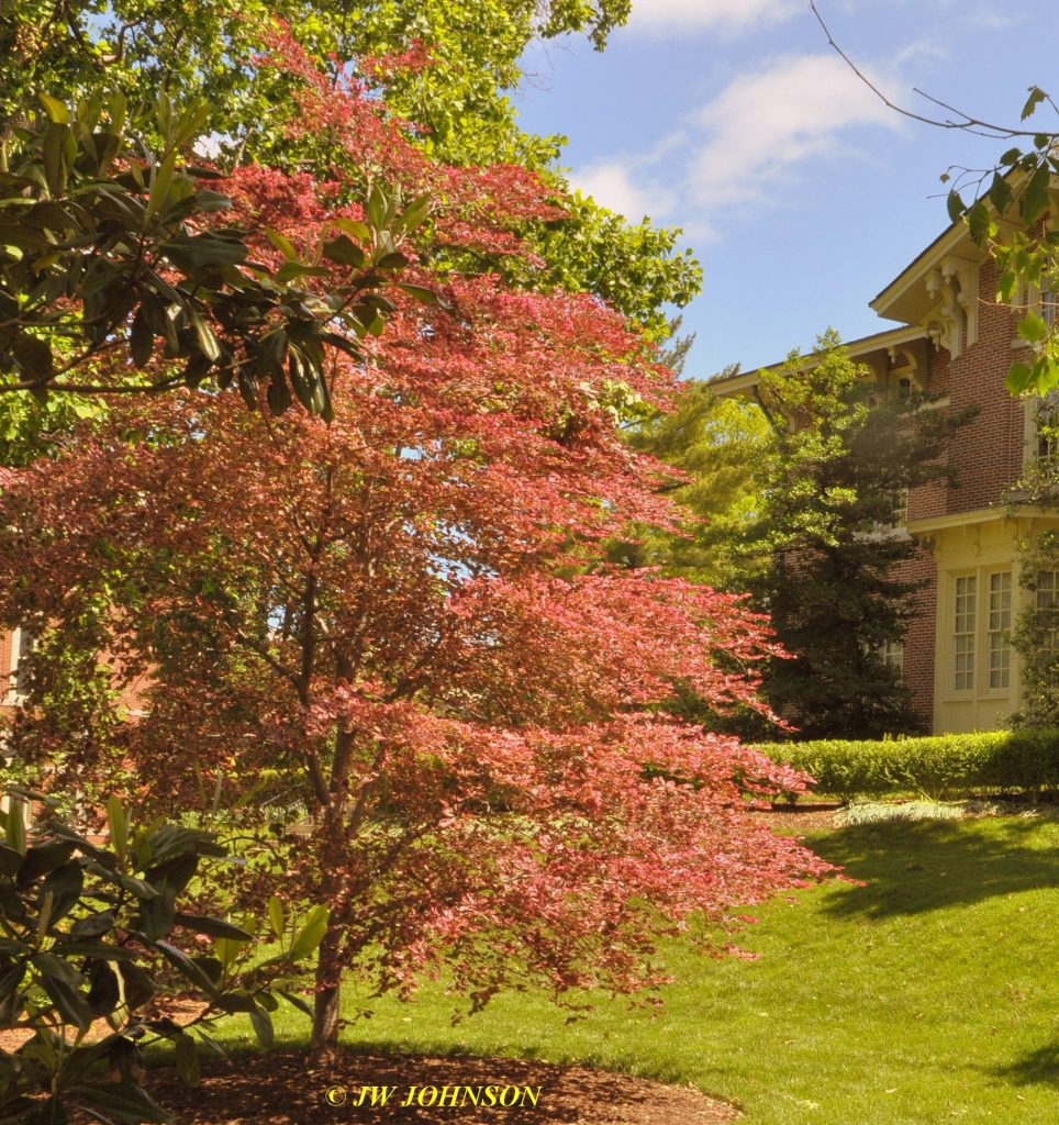 Tricolored Beech Tree